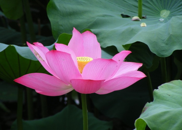 Colorful Lotus Flower Wallpaper 51